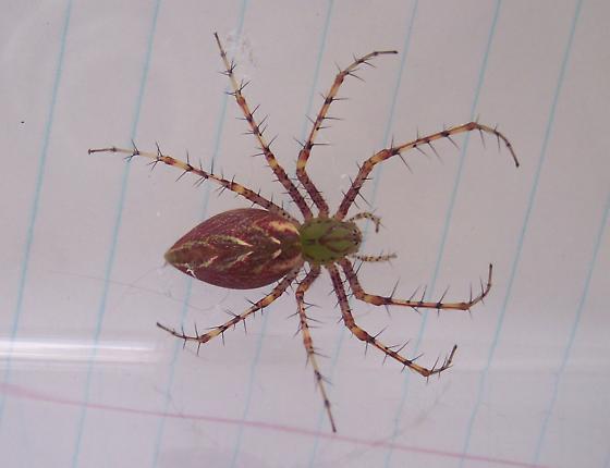 Unknown Spider - Peucetia viridans - female