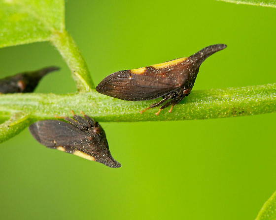 two-marked treehopper - Enchenopa binotata
