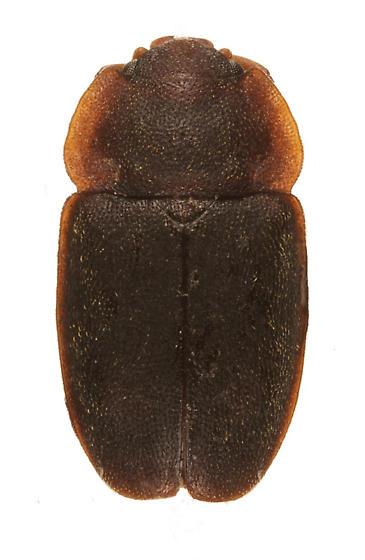 unknown beetle - Epuraea obtusicollis