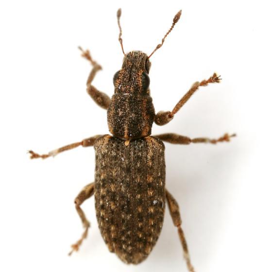 Sitona californius (Fahraeus) - Sitona californius