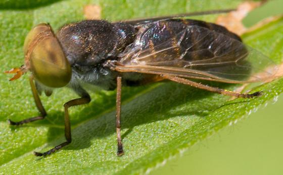 Dipteran - Atylotus