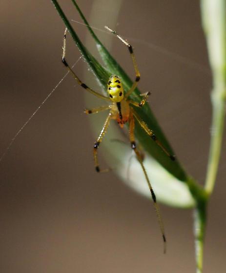 unknown yellow spider- Cambridge, Ontario, Canada