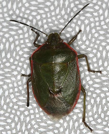 December Stink Bug - Chlorochroa ligata