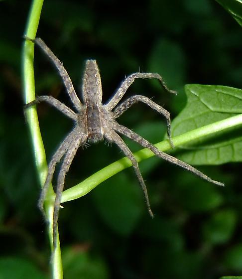 Fishing Spider? - Pisaurina mira