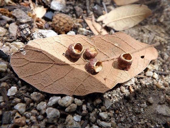 Wasp Gall?  - Andricus sessilum