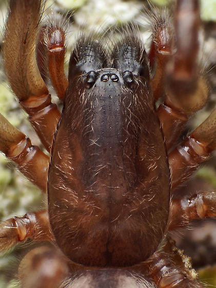Segestria - Segestria pacifica - female