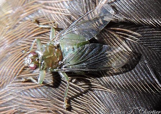 Hippoboscid Fly