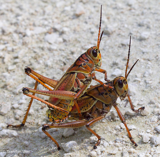 Romalea microptera - male - female