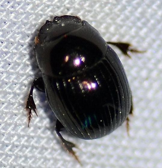 Scarabaeidae ? - Ateuchus