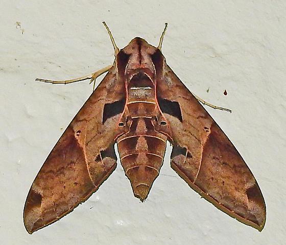 Moth - Eumorpha satellitia