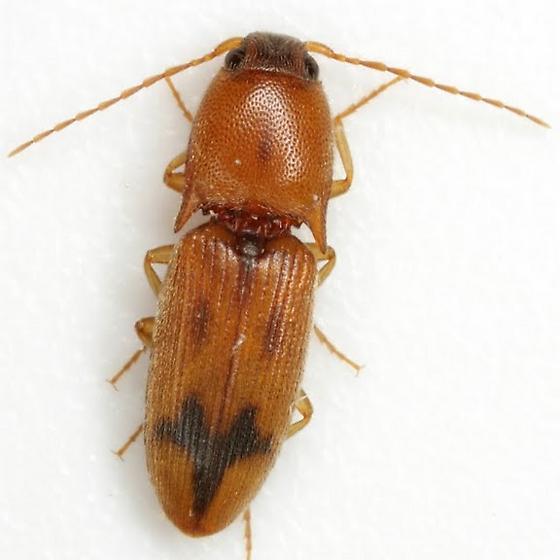 Aeolus sp. - Aeolus