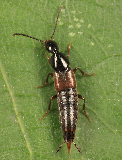 rove beetle - Philonthus lomatus