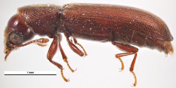 Lyctus africanus