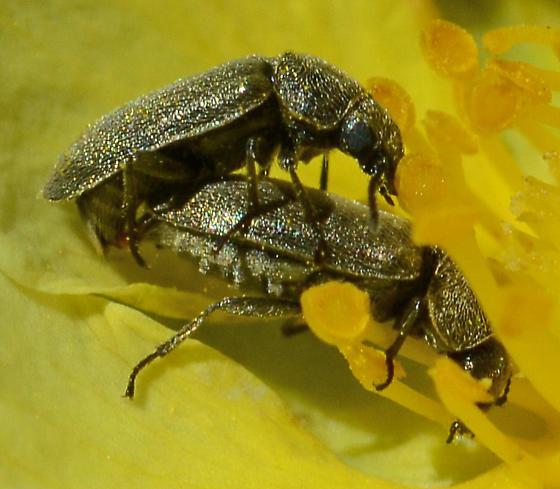 Gold/Tan Beetles - Trichochrous - male - female