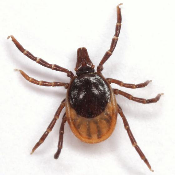 Ixodes scapularis Say - Ixodes scapularis - female