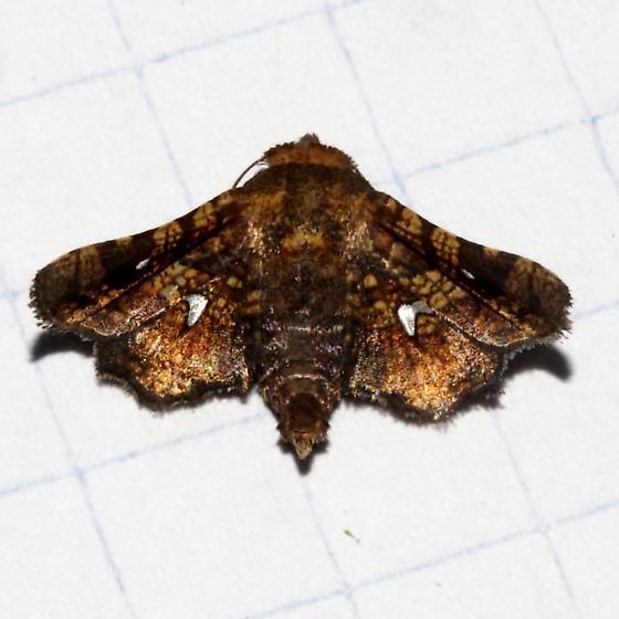 6079 – Dysodia granulata or occulata? - Dysodia