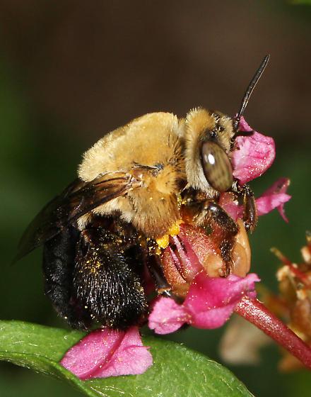Apidae? - Centris