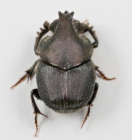 BG2561 E1938 - Onthophagus hecate - male