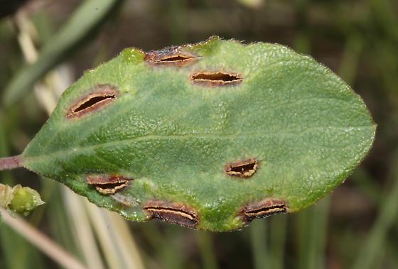 Buckbrush leaves, upper side