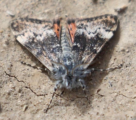Moth - Pogonogenys proximalis