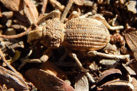 Broad-nosed Weevil - Ophryastes tuberosus
