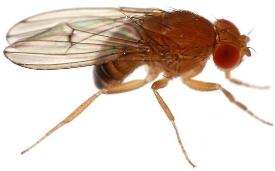 Drosophila immigrans? - Drosophila immigrans - male