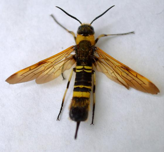 Asian Horntail - Eriotremex formosanus - female