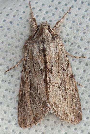 #10024 -Supralathosea baboquivariensis - Supralathosea baboquivariensis