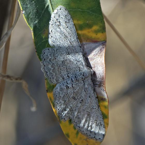 ID for a moth? - Iridopsis fragilaria - female