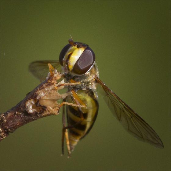 Syrphidae, Q genus - Eupeodes