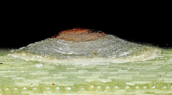 Armored scale insect on pinyon, lateral - female