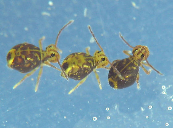 Flotilla of globular springtails - Dicyrtomina minuta