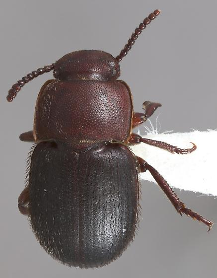 Notibius puncticollis - male