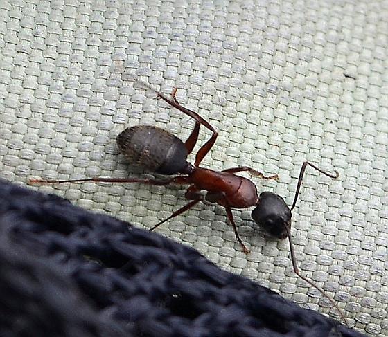 Formicinae?  - Camponotus vicinus - female