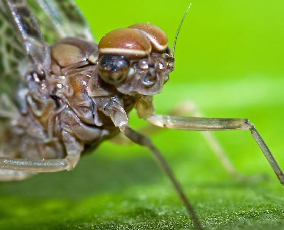 Mayfly ID - Callibaetis ferrugineus
