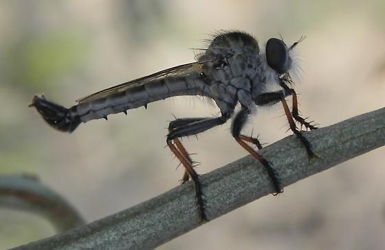 Robber Fly Efferia? - Efferia tuberculata - male