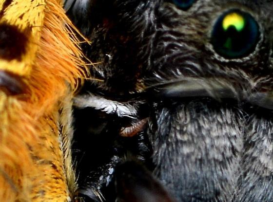 Mantisfly larva?