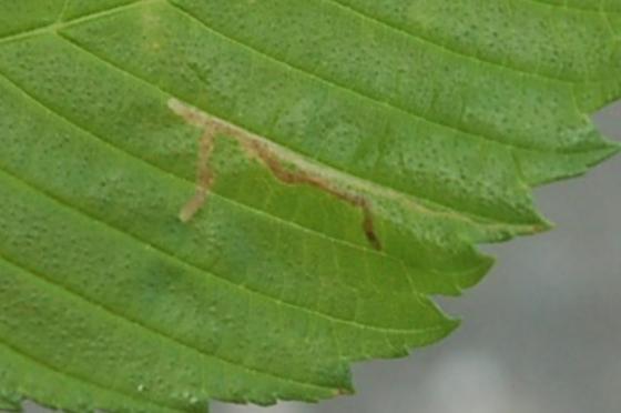 St. Andrews Leaf miner on Ulmus rubra SA324 2016 1 - Agromyza aristata