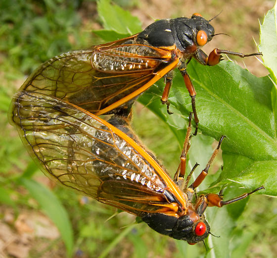 Decim Periodical Cicada - mating pair - Magicicada septendecim - male - female