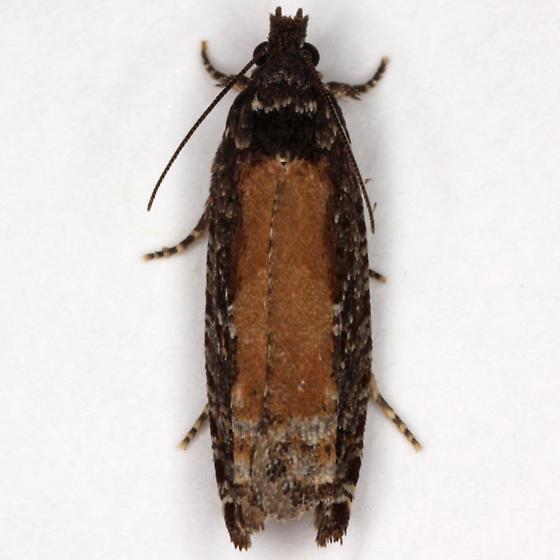 Unknown moth - Epinotia emarginana