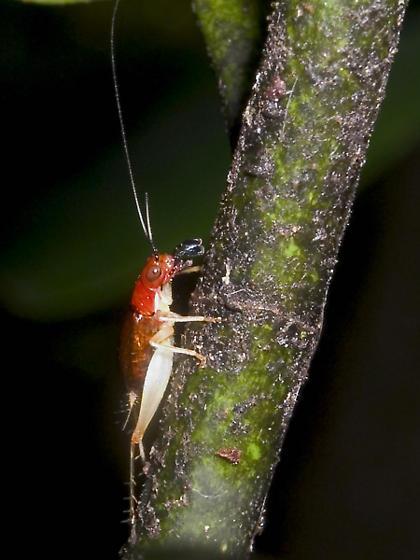 Phyllopalpus pulchellus