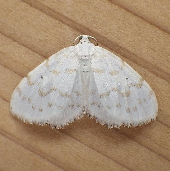 Geometridae: Hydrelia albifera - Hydrelia albifera