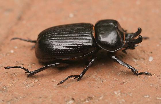 Shiny black beetle with horns - Phileurus truncatus