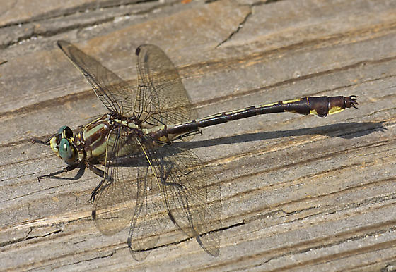 Male Gomphus septima - Gomphurus septima - male