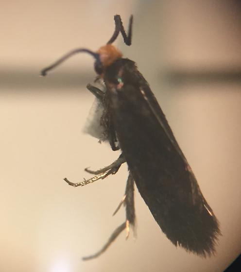 Lepidoptera/Moth? - Oecophoridae? - Paraclemensia acerifoliella