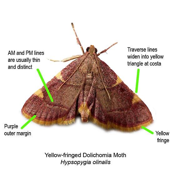 Yellow-fringed Dolichomia Moth - Hodges #5533 - Hypsopygia olinalis