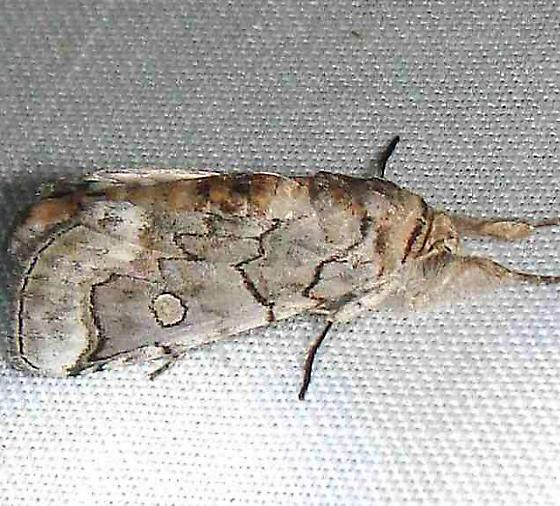 moth - Collomena inflexa