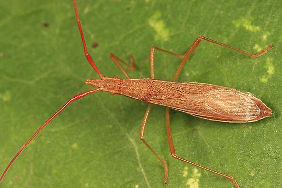 Broad-headed Bug - Protenor belfragei
