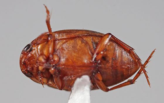 Hydrophilidae - Neoporus dimidiatus