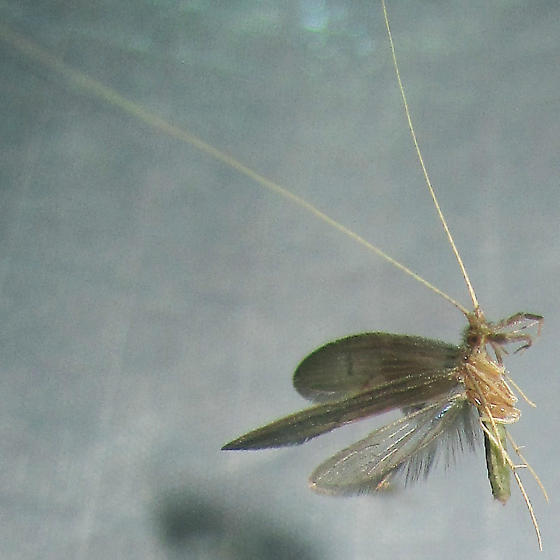 Caddis flying